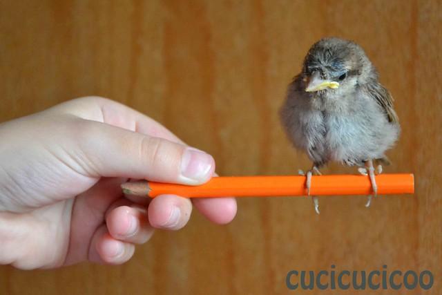 Cicciluzzo sulla matita