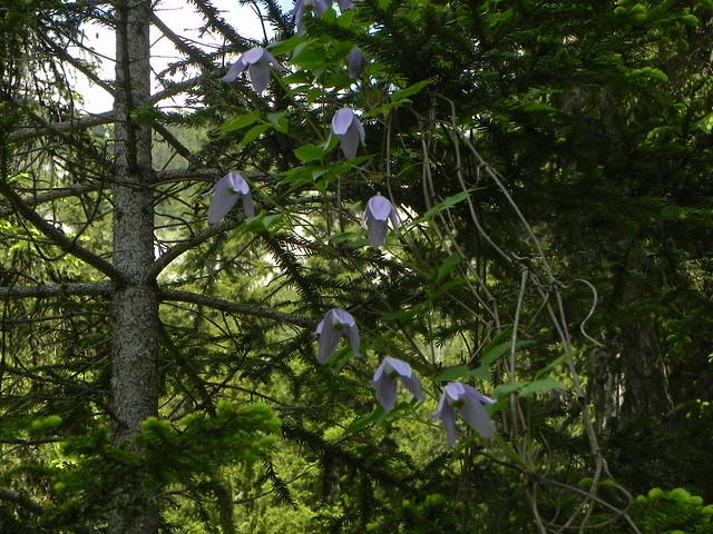 Clematis alpina=Clematite des Alpes