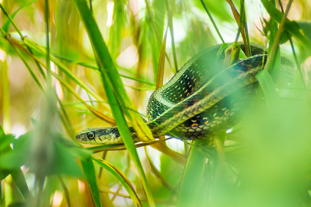 Snake, Snake in the Grass, Grass, Wildlife, Nature
