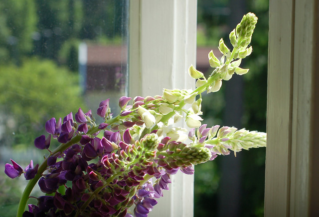 In my window: Lupins