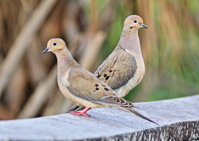 Mourning Doves DPP Processed 20130322