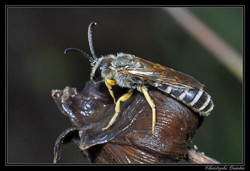Halictus scabiosae mâle