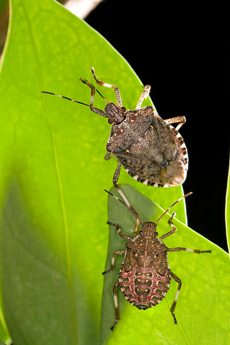 The brown marmorated stink bug, a winged pest from Asia that is eating crops and infesting U.S. homes. U.S. Department of Agriculture (USDA) Agricultural Research Service (ARS) scientists are launching a campaign to ask volunteers to count the number of stink bugs in their homes. USDA-ARS photo by Stephen Ausmus.