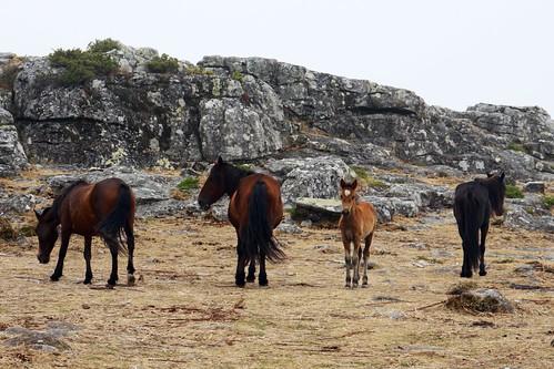 Familia de cabalos salvaxes da serra da Groba