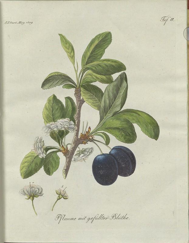 Pflaume mit gefüllter Blüthe (hand-coloured botanical engraving courtesy kulturerbe niedersachsen)