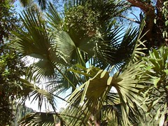 date palm(0.0), borassus flabellifer(0.0), flower(0.0), arecales(1.0), tropics(1.0), branch(1.0), leaf(1.0), tree(1.0), plant(1.0), produce(1.0), vegetation(1.0),
