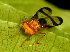 Diptera of Ecuador, old