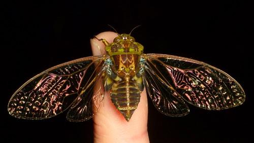 Cicada, Zammara tympanum?