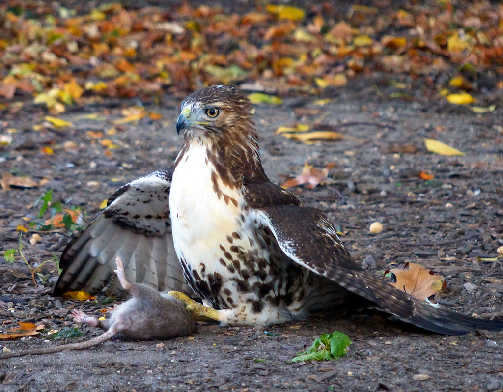 Red-tail with rat in Tompkins Square