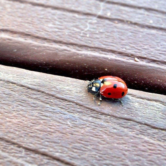 Saw a ladybug yesterday, in November! #iloveladybugs