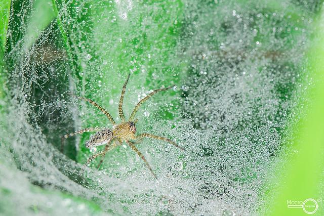 Lawn Wolf Spider- Hippasa holmerae  ♀