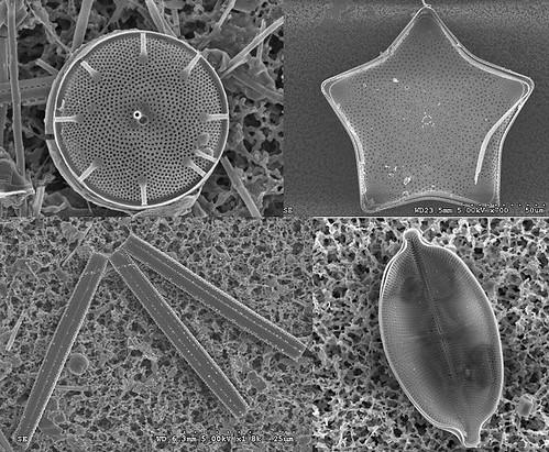 各式形狀矽藻,拍攝者:張桂祥。