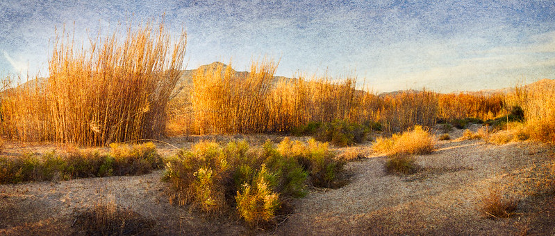 Reeds at the Sespe - Santa Clara River Confluence • Fillmore, CA 2013