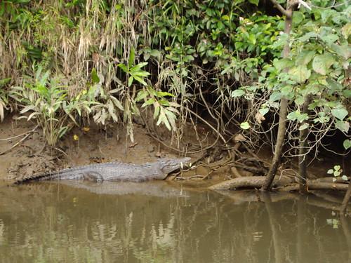 Daintree River cruise. Crocodile on the alert.