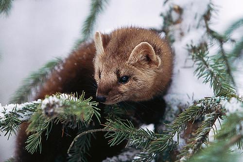 Wildlife in British Columbia, Canada: American Marten / Pine Marten