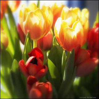 sunny tulips | sonnige Tulpen