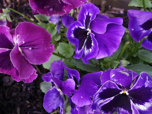Purple and Indigo Pansies