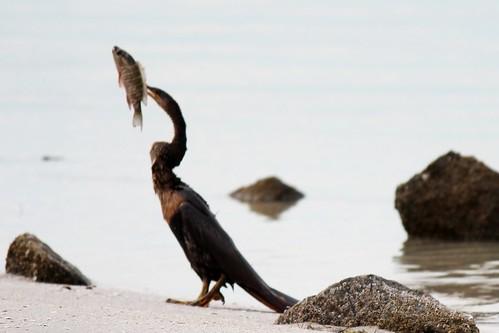 IMG_3672_Anhinga_with_Fish