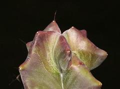 Cactus (Stenocereus pruinosus)