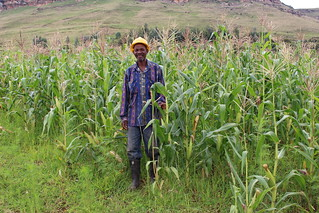 Lesotho: Preparing for destructive armyworms on the march
