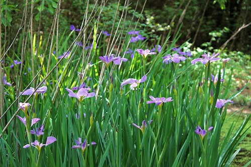 CrabAppleLane Louisiana Irises - April 11, 2014