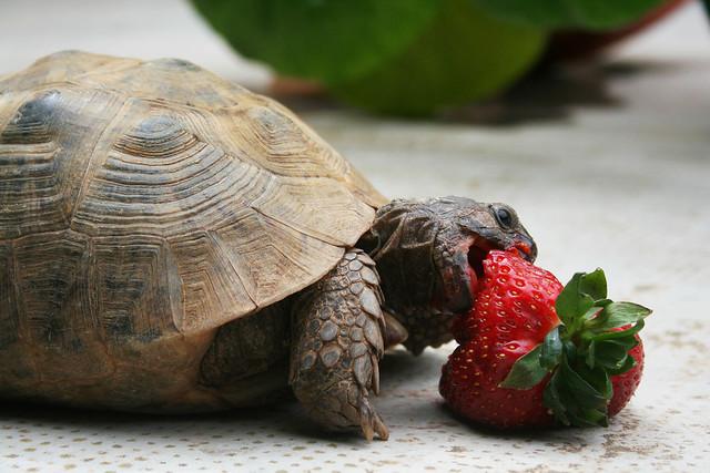 tortuga comiéndose una fresa al aire libre