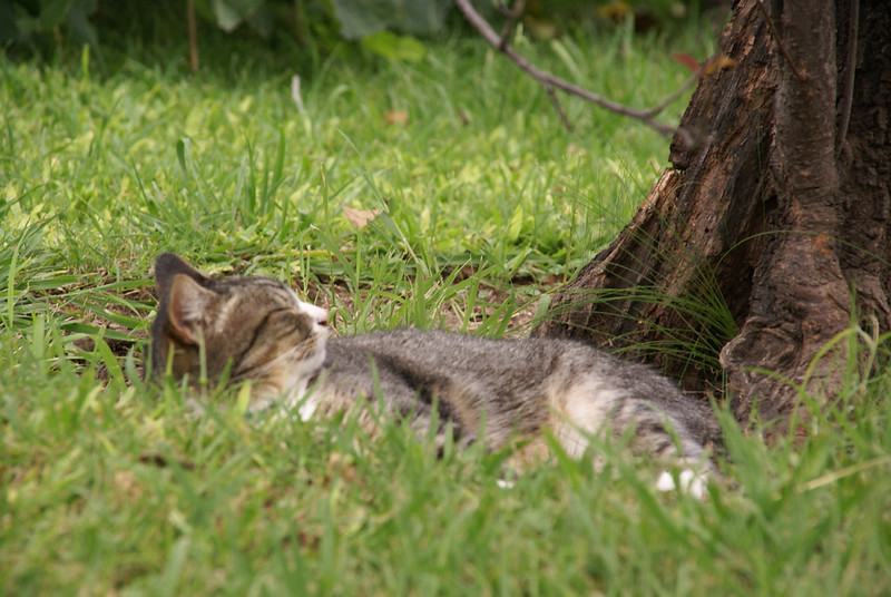 Argentine Wild Cat Resting in Buenos Aires Japanese Gardens