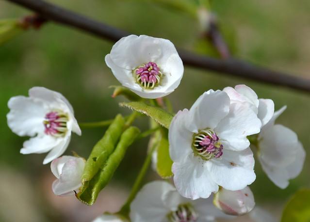 Flowering Pear in Bloom