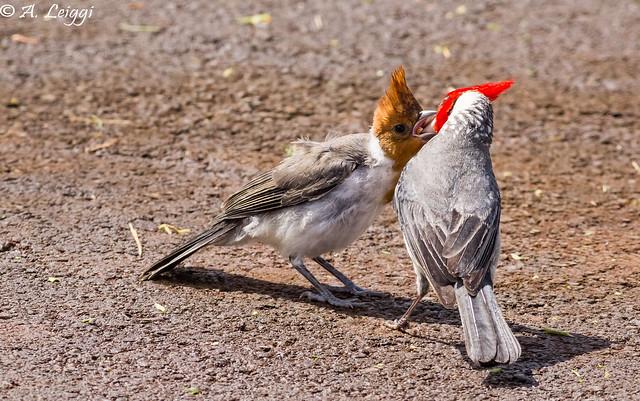 Red-crested cardinal, parent feeding juvenile (Paroaria coronata)