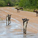Small photo of African Wild Dogs (Lycaon pictus) on the road