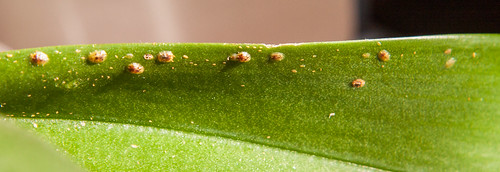 Scale insects on my orchids
