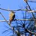 Sue Orwig has added a photo to the pool:1~24~15  Bear Creek Park, Harris County, Tx. .  Rare bird documentation photo.
