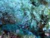 Coral Shrimp on reef near Austin Smith wreck, Exuma Cays, Bahamas by mattk1979