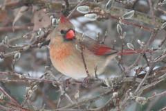 cardinal female IMG_1562a