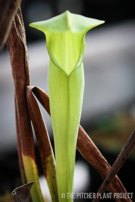 Sarracenia alata - AF