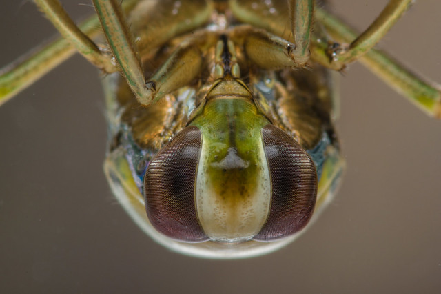 Common backswimmer-3