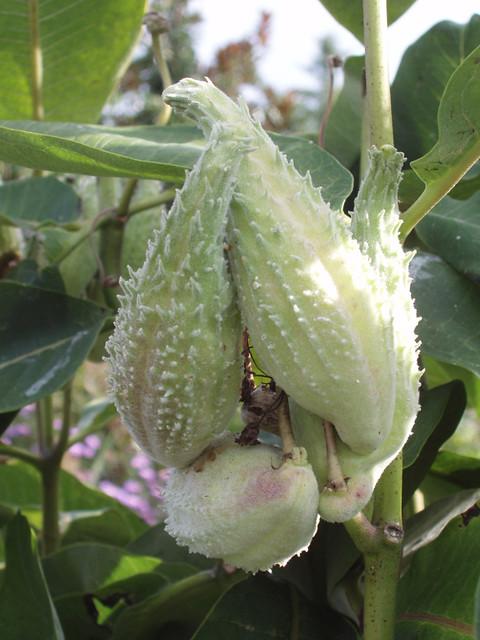 200709090082_Schwebsange-botanical-garden-parrot-plant_resize