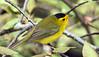IMG_0527 Wilson's Warbler