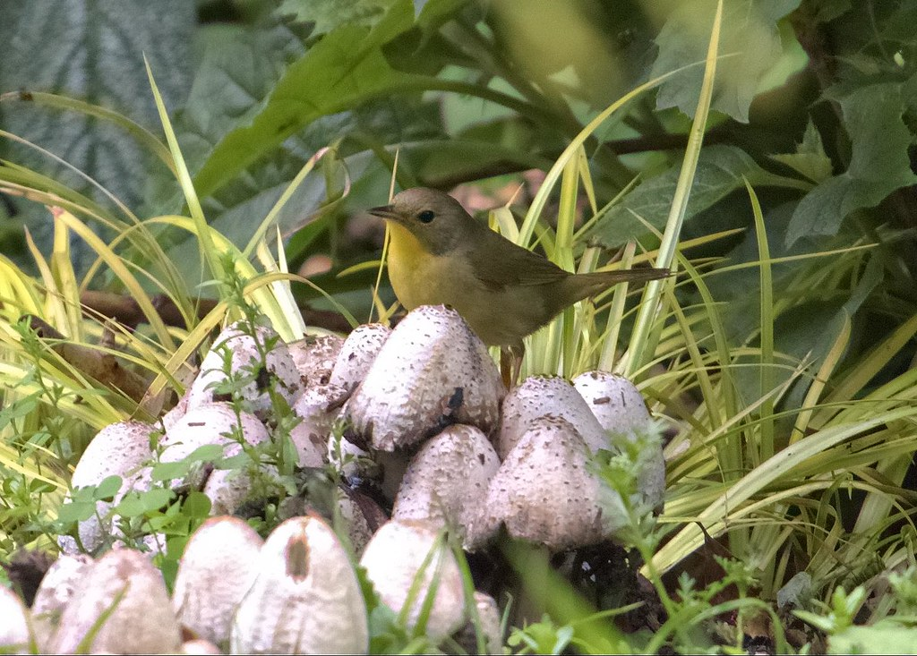 Female common yellowthroat?