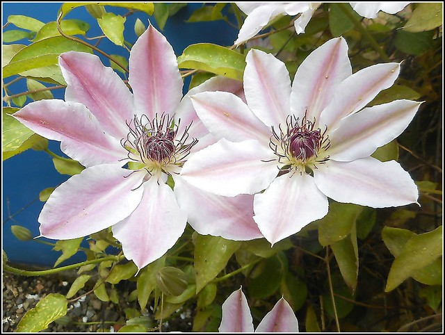 Clematis Flowers ..