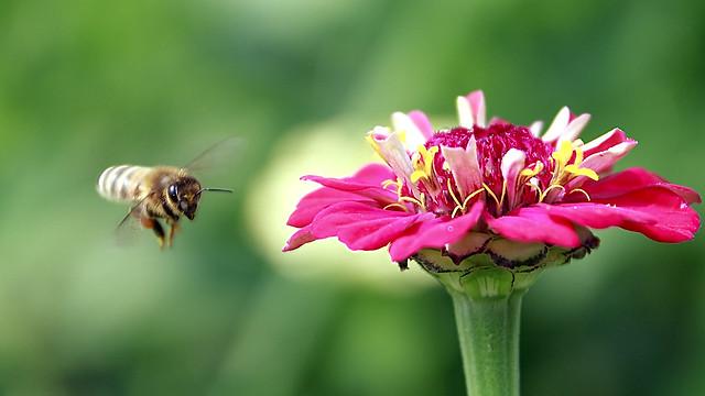 Honeybee around the Zinnia