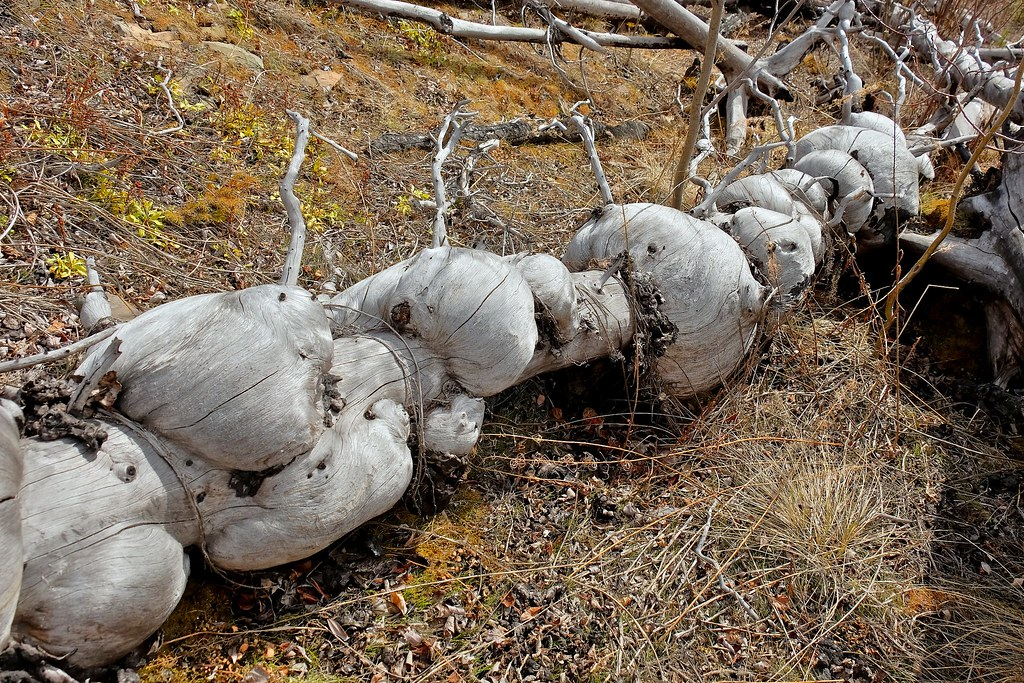 Burly Spruce Fire-killed