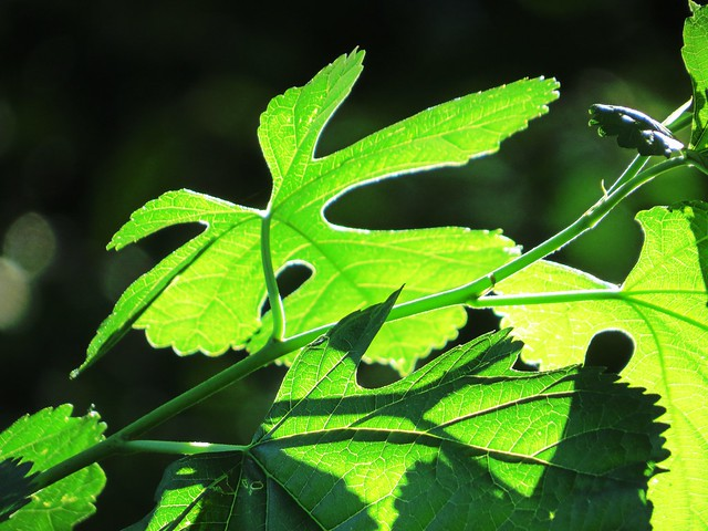 Out of thousands of leaves this sunlit one stood out.