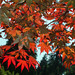 Small photo of Acer