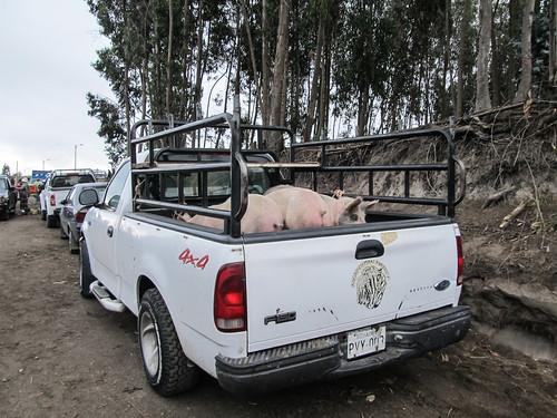 Saquisili: ou comment mettre des cochons dans un pickup