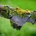 Baum-Flechte / Tree Lichen