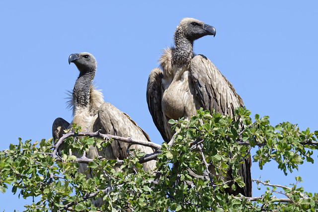 Vultures in waiting