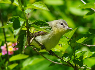 Unidentified Vireo