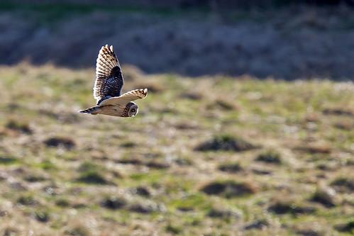 Jorduggla - Short Eared Owl