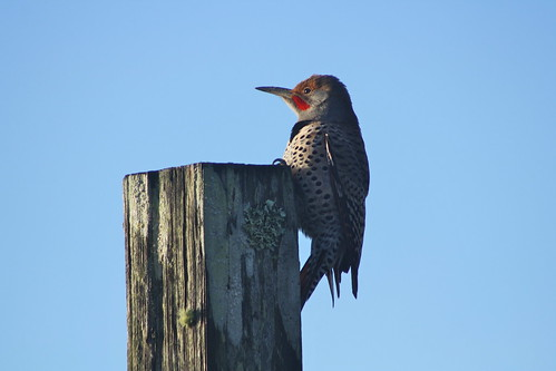 northernflicker colaptesauratus ca california humboldtcounty tablebluff southspit humboldtbay woodpecker